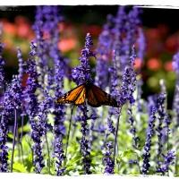 Farfalla Nz
