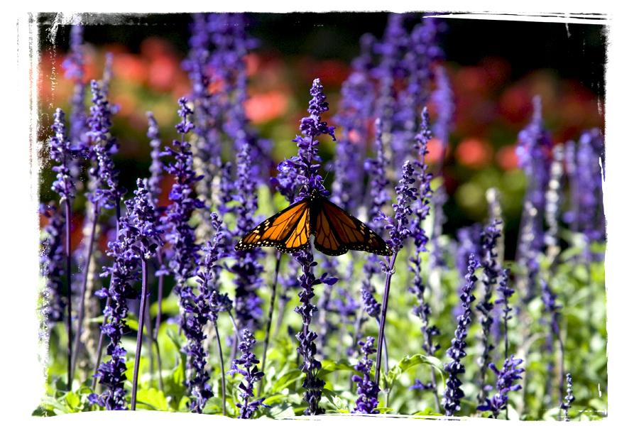 farfalla_nz